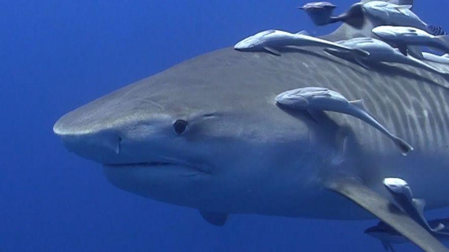 Los tiburones tigre engullen cualquier cosa que se encuentren: desde ruedas a munición no detonada