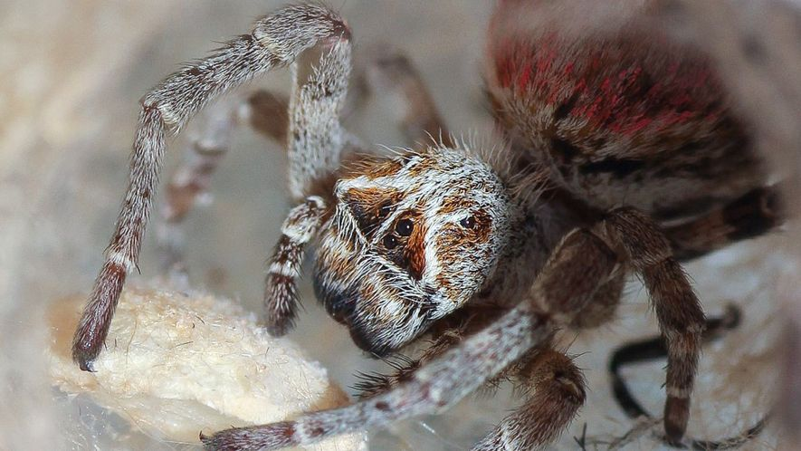 Estas arañas devoran los cadáveres de sus madres