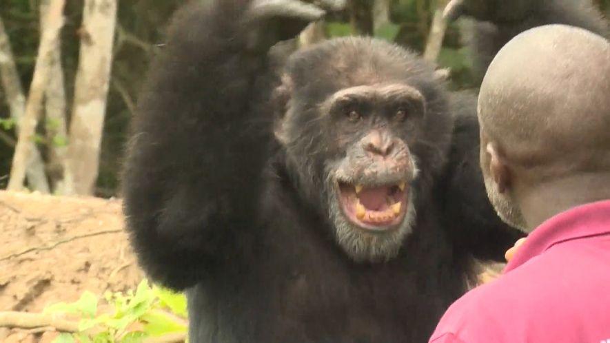 Ponso es el último superviviente de una colonia de 20 chimpancés