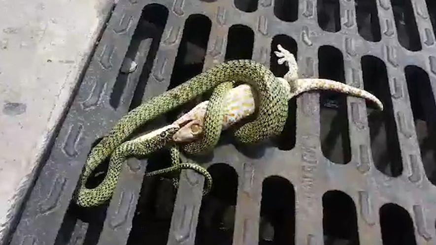 Esta pelea entre un gecko y una serpiente acaba con un final inesperado