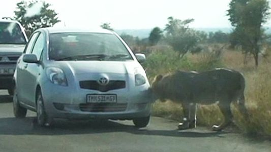 Un león aprende por las malas que no debe «cazar» coches