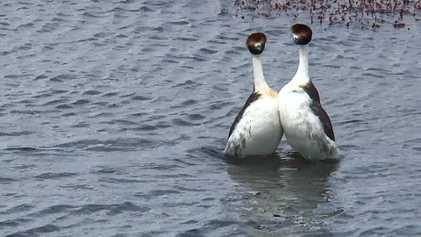 La peculiar «danza» de cortejo de los zampullines tobianos