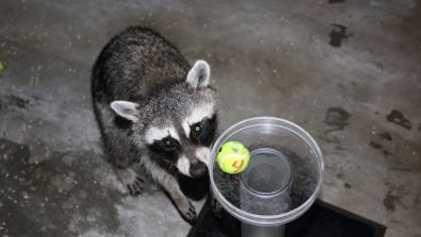 Así resuelven unos mapaches la prueba de la fábula de Esopo