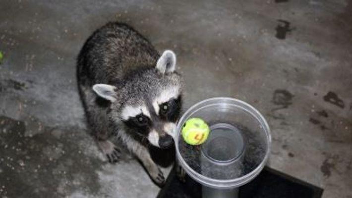 Estos mapaches aprueban un famoso test de inteligencia