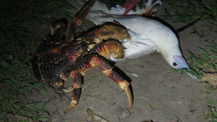 Un cangrejo de los cocoteros ataca a un piquero patirrojo