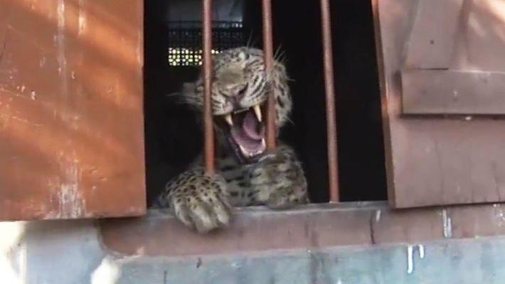 Un leopardo entra en un colegio y ataca a cuatro personas