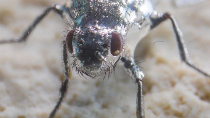Estas moscas pueden «respirar» bajo el agua gracias a sus pelos