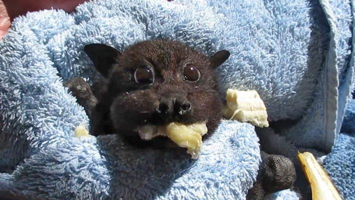 A este murciélago bebé rescatado le encantan los plátanos