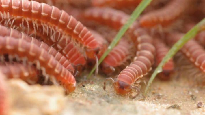 Los milpiés forman grupos enormes para protegerse mientras comen