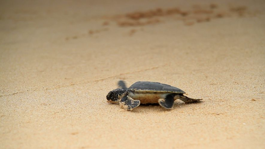 El aumento de las temperaturas hace que las tortugas marinas nazcan hembras