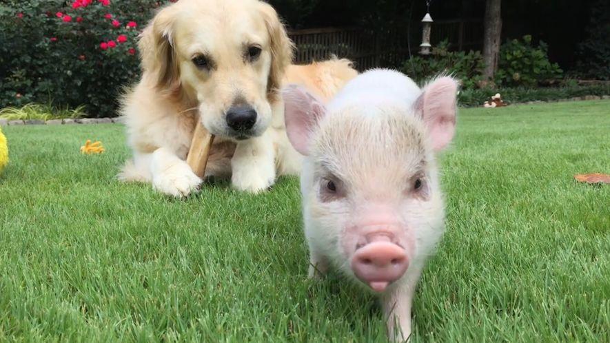 Luna y Cloud, un cerdo y un perro que son inseparables
