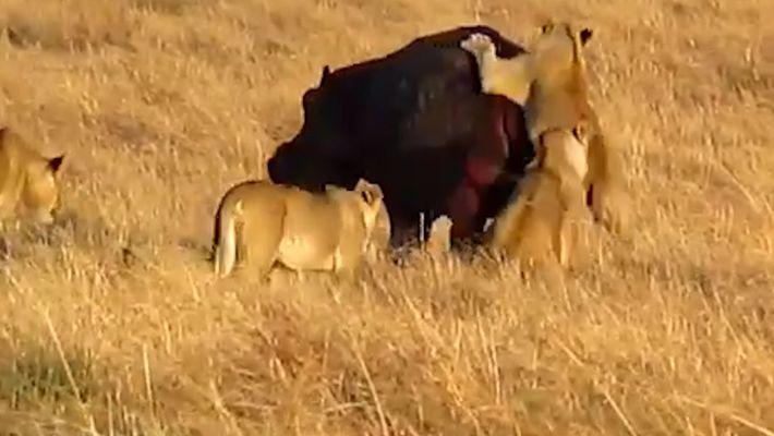 Unos leones intentan derribar a un hipopótamo
