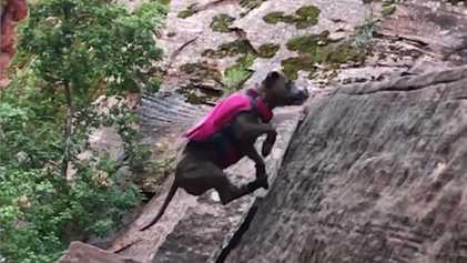 Penni, la pitbull rescatada que se convirtió en una experta escaladora