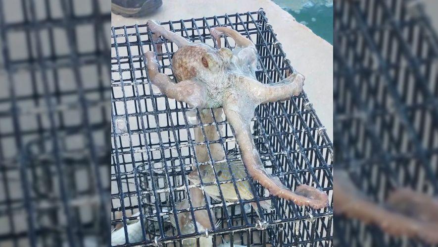 Un pulpo intenta robarle los peces a este pescador