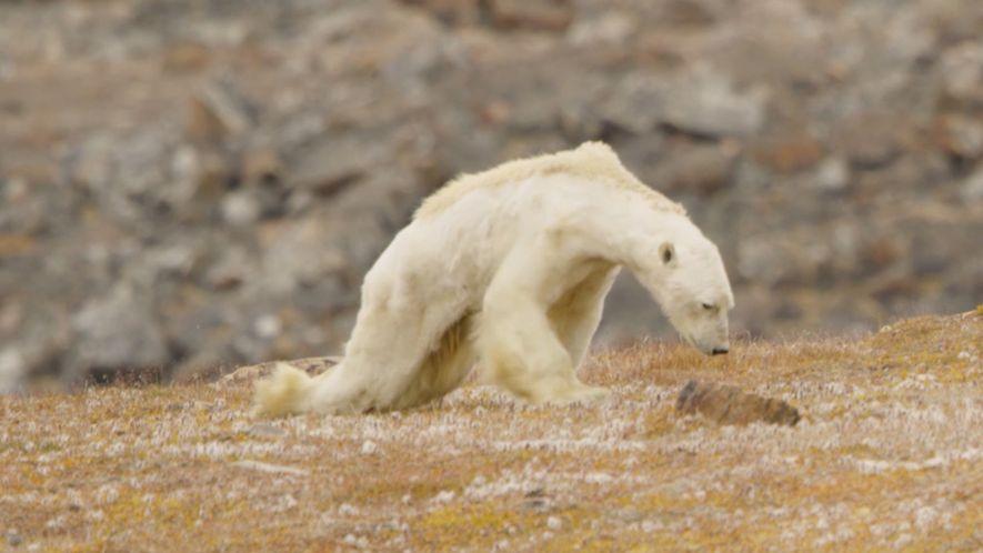 La imagen del cambio climático: el descorazonador vídeo de un oso polar muriendo de hambre