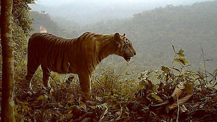 El tigre de Sumatra, amenazado por la deforestación