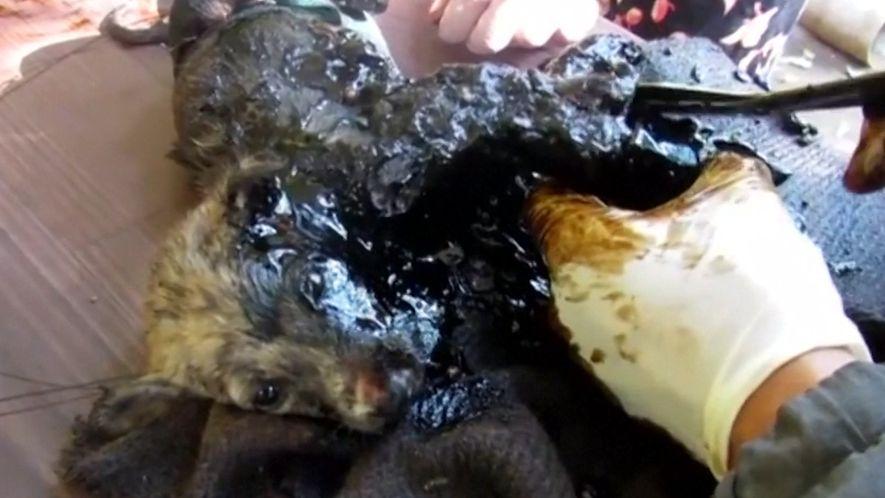 Así fue el rescate de tres cachorros atrapados en alquitrán