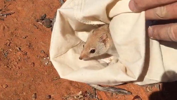 Redescubierto un marsupial que se creía extinto en algunas partes de Australia