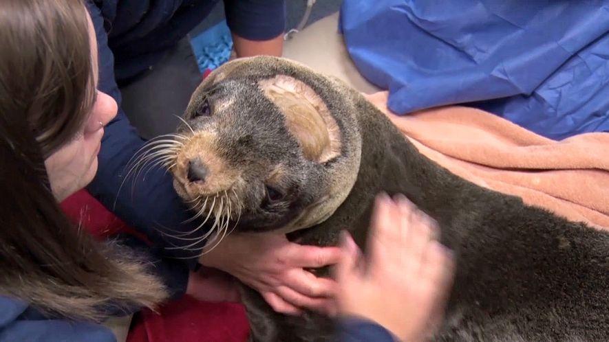 La cirugía cerebral pionera que salvó a un oso marino rescatado
