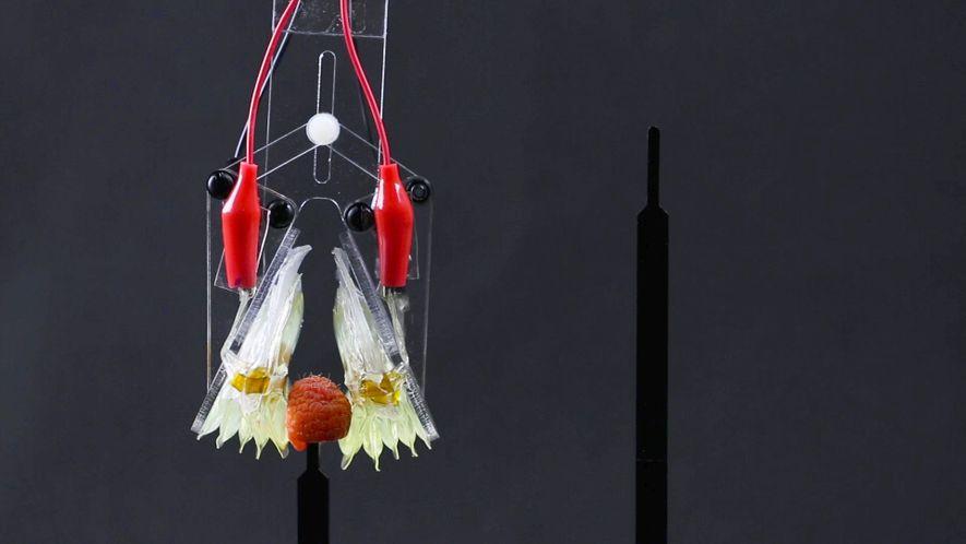 Los músculos artificiales imitan cada vez mejor los movimientos humanos