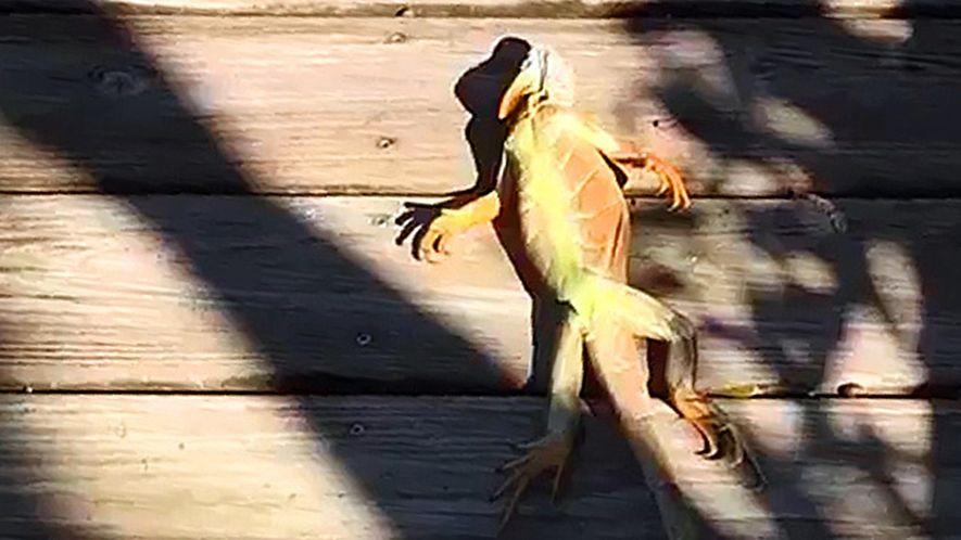 La ola de frío de Florida hace que las iguanas caigan de los árboles