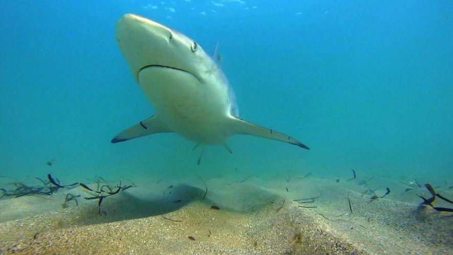 Un menor número de tiburones de puntas negras están migrando a Florida: ¿por qué? .
