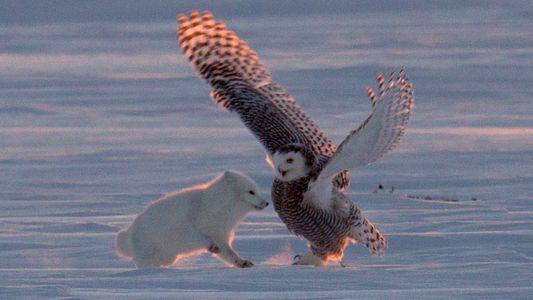 La lucha por la supervivencia entre un búho nival y un zorro polar
