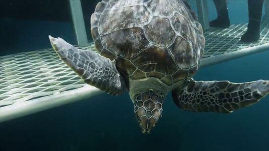 Dos tortugas verdes regresan al océano tras dos años de rehabilitación