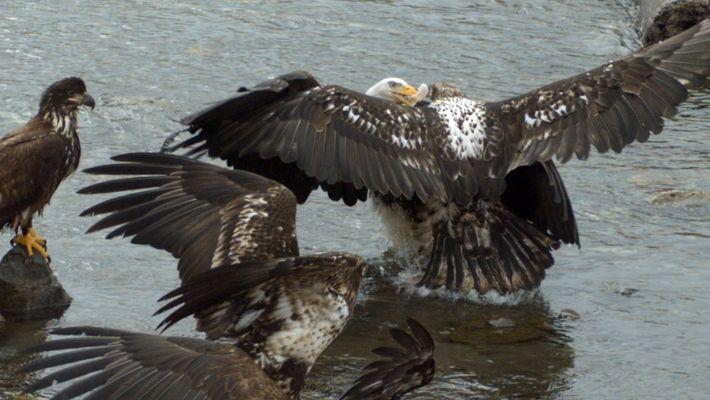 Águilas calvas se pelean por la comida a cámara lenta
