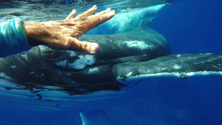 ¿Intentaba esta ballena jorobada salvarle la vida a una buceadora?