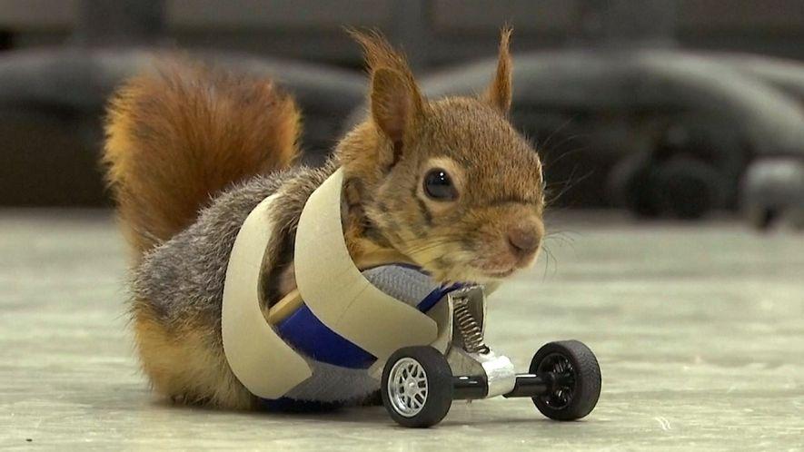 La ardilla Karamel se recupera con unas ruedas protésicas