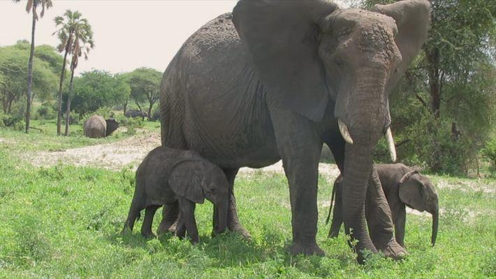 Nacen dos raros elefantes africanos gemelos