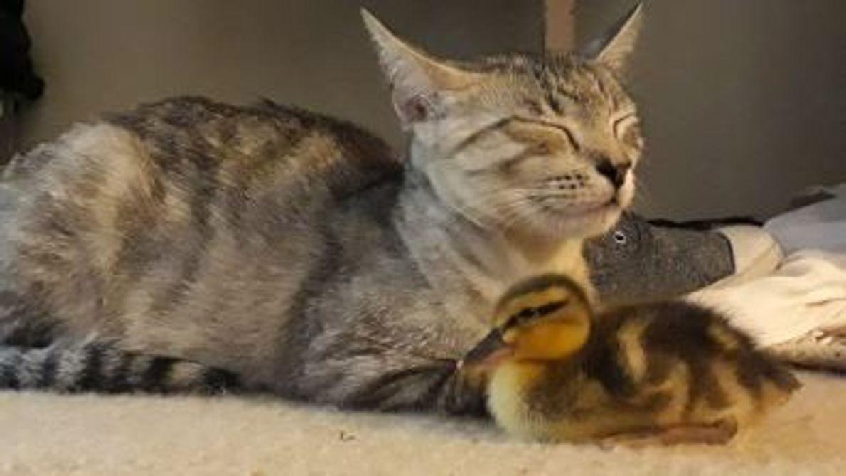 La patita Kitty ha sido acogida por una familia de gatos