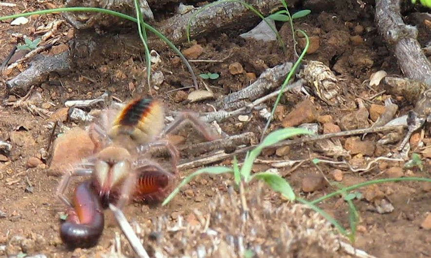 Una araña camello captura y devora a un milpiés