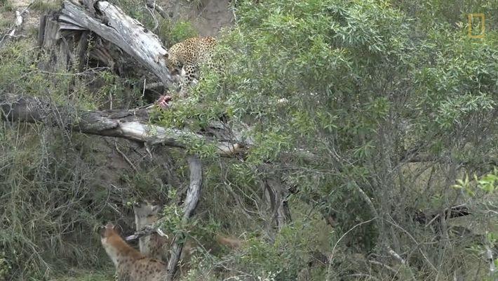 Un grupo de hienas ataca a un leopardo