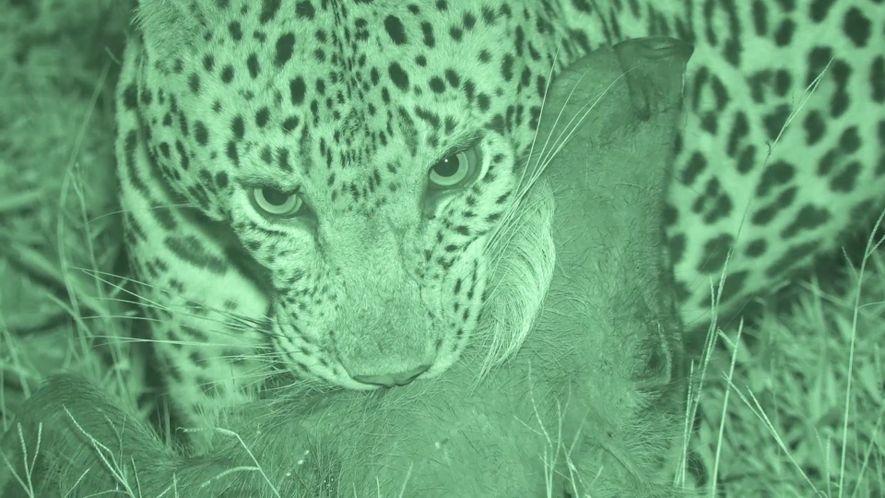 Un leopardo acecha y ataca a un facóquero desprevenido