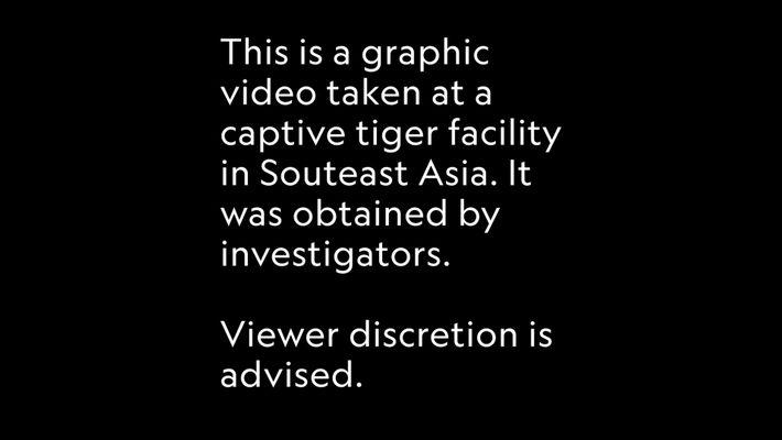 Las granjas de tigres que alimentan el tráfico de esta especie en Asia