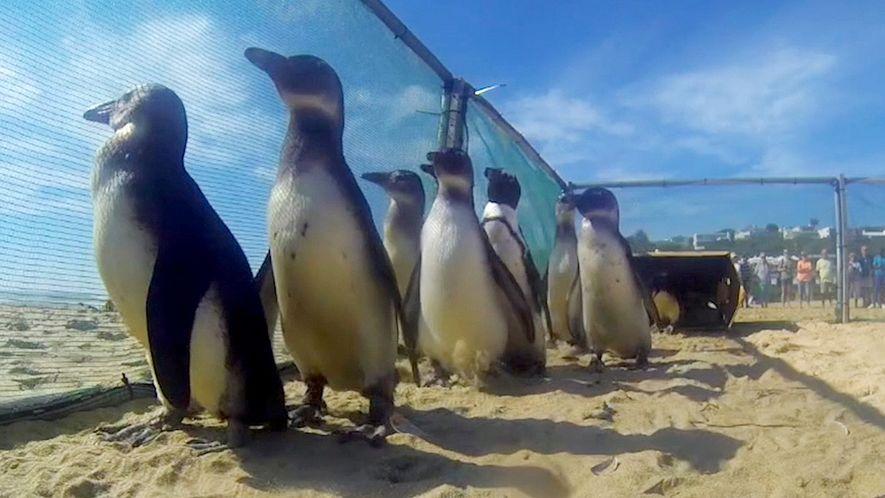 Estos pingüinos rescatados regresan a la naturaleza