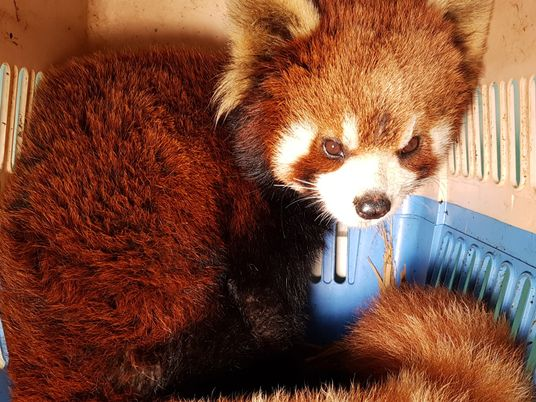 Seis pandas rojos han sido rescatados de las manos de contrabandistas