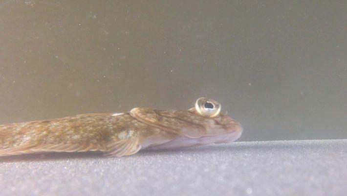 """Este pez plano """"camina"""" impulsándose con las aletas"""