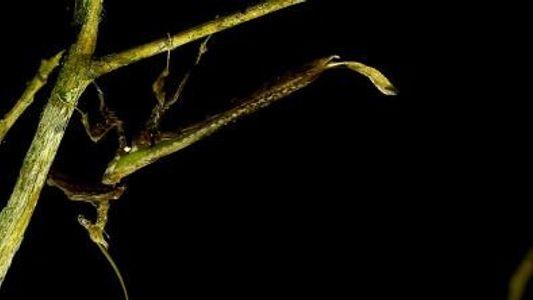 Una rara mantis dragón grabada en la naturaleza