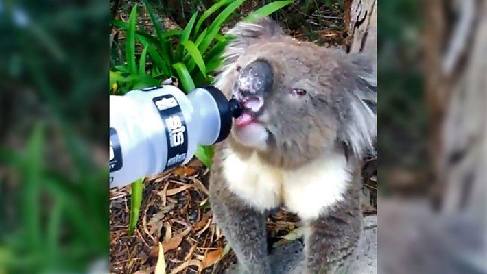 Así se enfrentan los animales australianos a la ola de calor