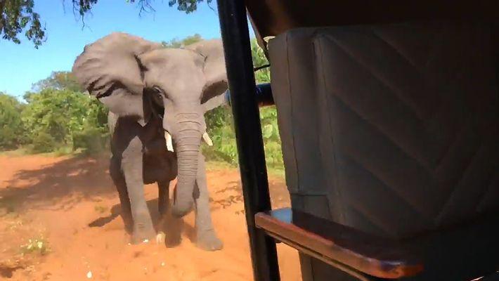 Un elefante carga contra un vehículo de safari y se rompe un colmillo