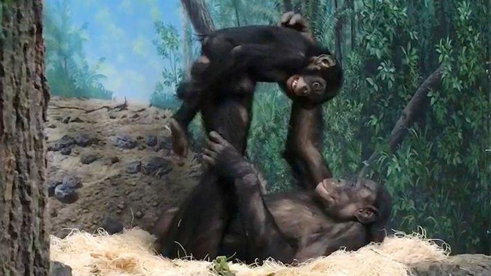 """Dos bonobos """"juegan al avión"""" en el zoo de Cincinnati"""