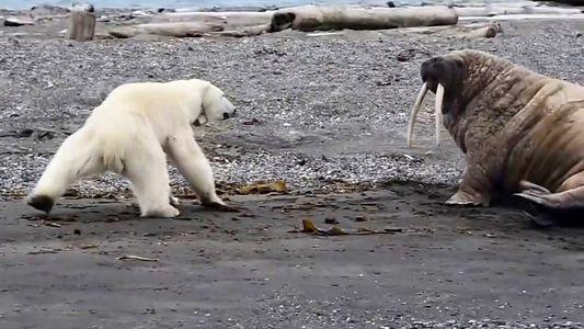 Una osa polar y su cría buscan comida desesperadamente