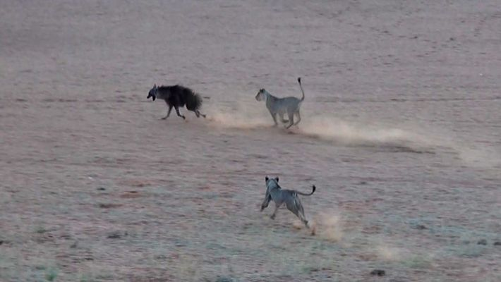 Una hiena confiada se adentra en el territorio de las leonas