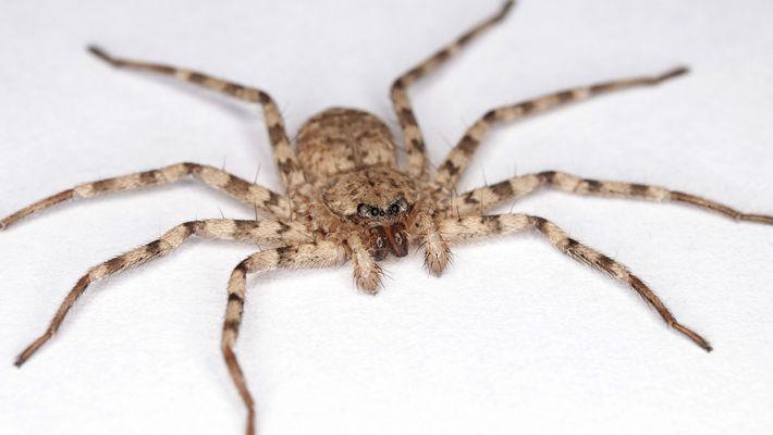 Estas arañas atacan a sus presas con el giro más rápido del mundo