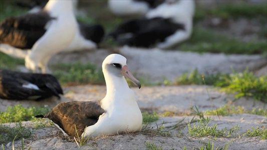 Nace el polluelo del albatros de 67 años, el más longevo del mundo