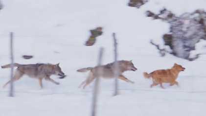 ¿Por qué estos lobos persiguen a un perro, pero no atacan a un caballo?