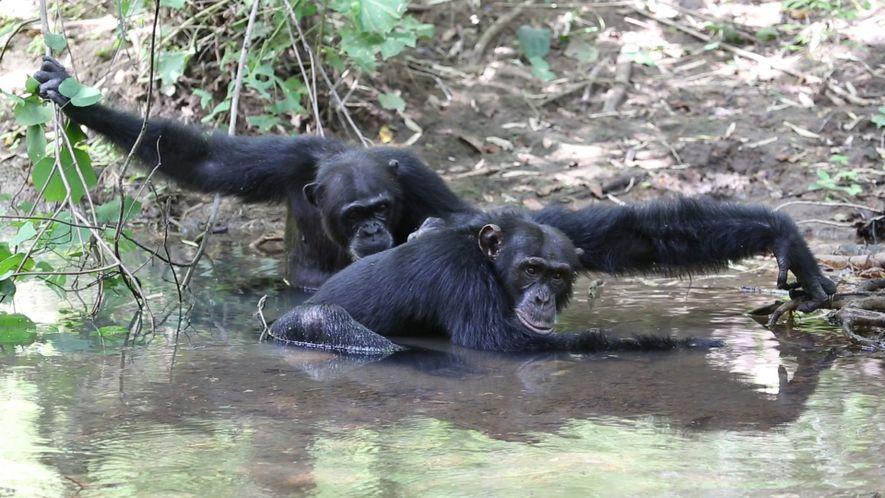 Estos chimpancés se dan chapuzones para hacer frente al calor